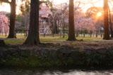 上賀茂神社 ならの小川と御所桜