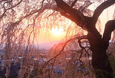 信州佐久の桜