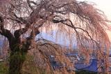関所破りの桜と浅間山