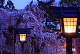 上賀茂神社 燈籠と御所桜