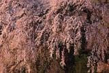 朝の関所破りの桜