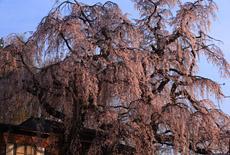 咲き分けの桜
