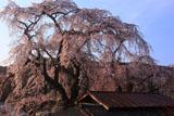 五本木の咲き分け桜