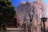 千本釈迦堂 阿亀桜と本堂