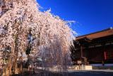 千本釈迦堂 おかめ桜と本堂