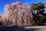 千本釈迦堂 お亀桜