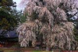 弥美登里神社のしだれ桜