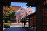 千本釈迦堂 山門越しのしだれ桜