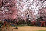 加増稲荷神社 社殿側のしだれ桜