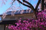 常寂光寺 三葉躑躅と枝垂桜