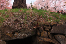 加増稲荷神社の桜