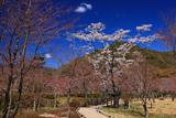 京都平安郷 吉野桜