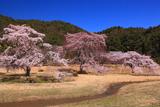 平安郷 広庭の三本しだれ桜