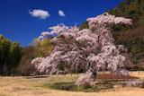 京都平安郷 枝垂桜