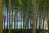 京都平安郷 竹林越しの広沢池