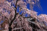京都武徳殿のシダレザクラ