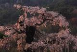 川久保の枝垂れ桜