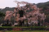 川久保のしだれ桜
