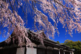 京都武徳殿のしだれ桜
