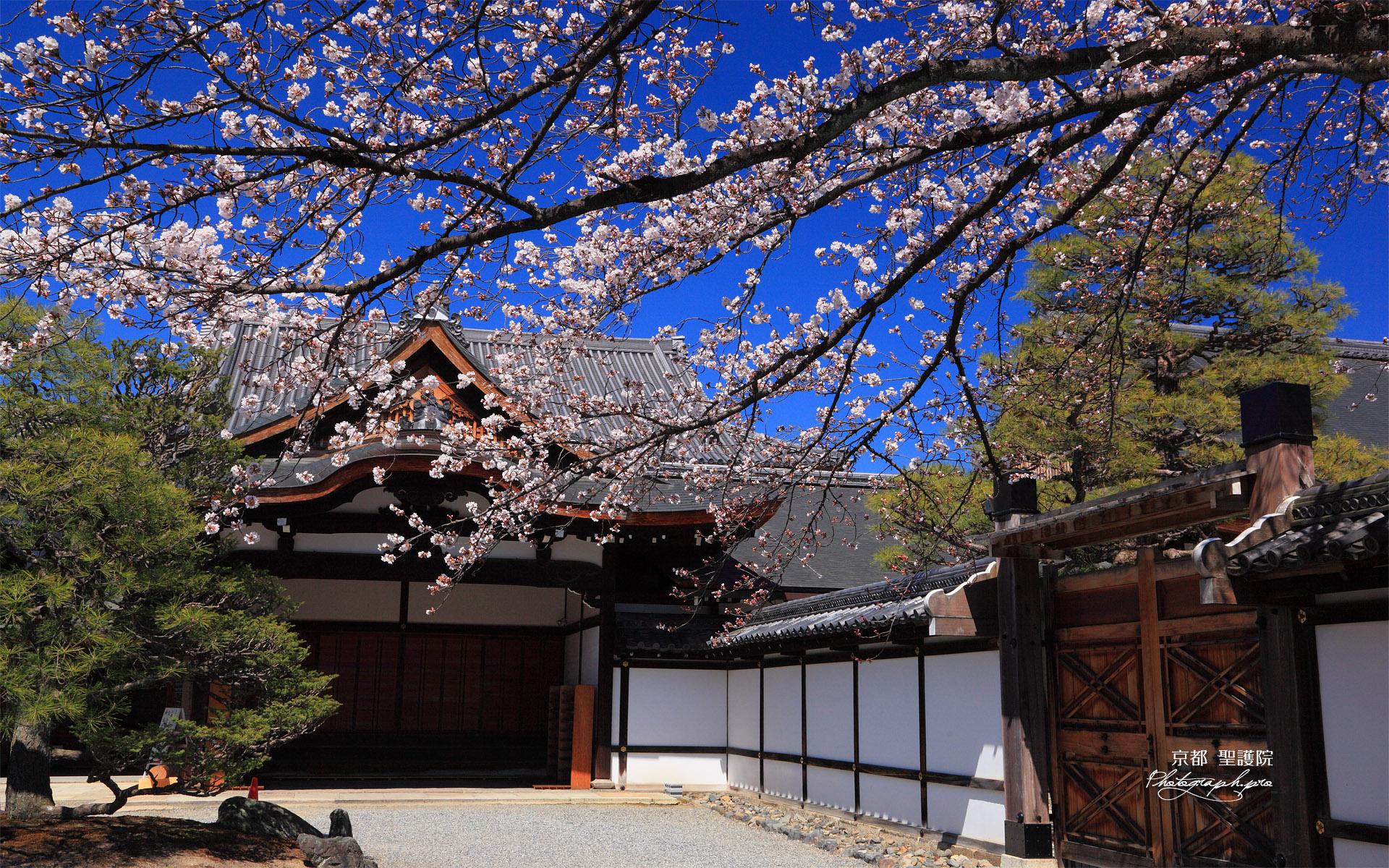 聖護院 吉野桜と玄関