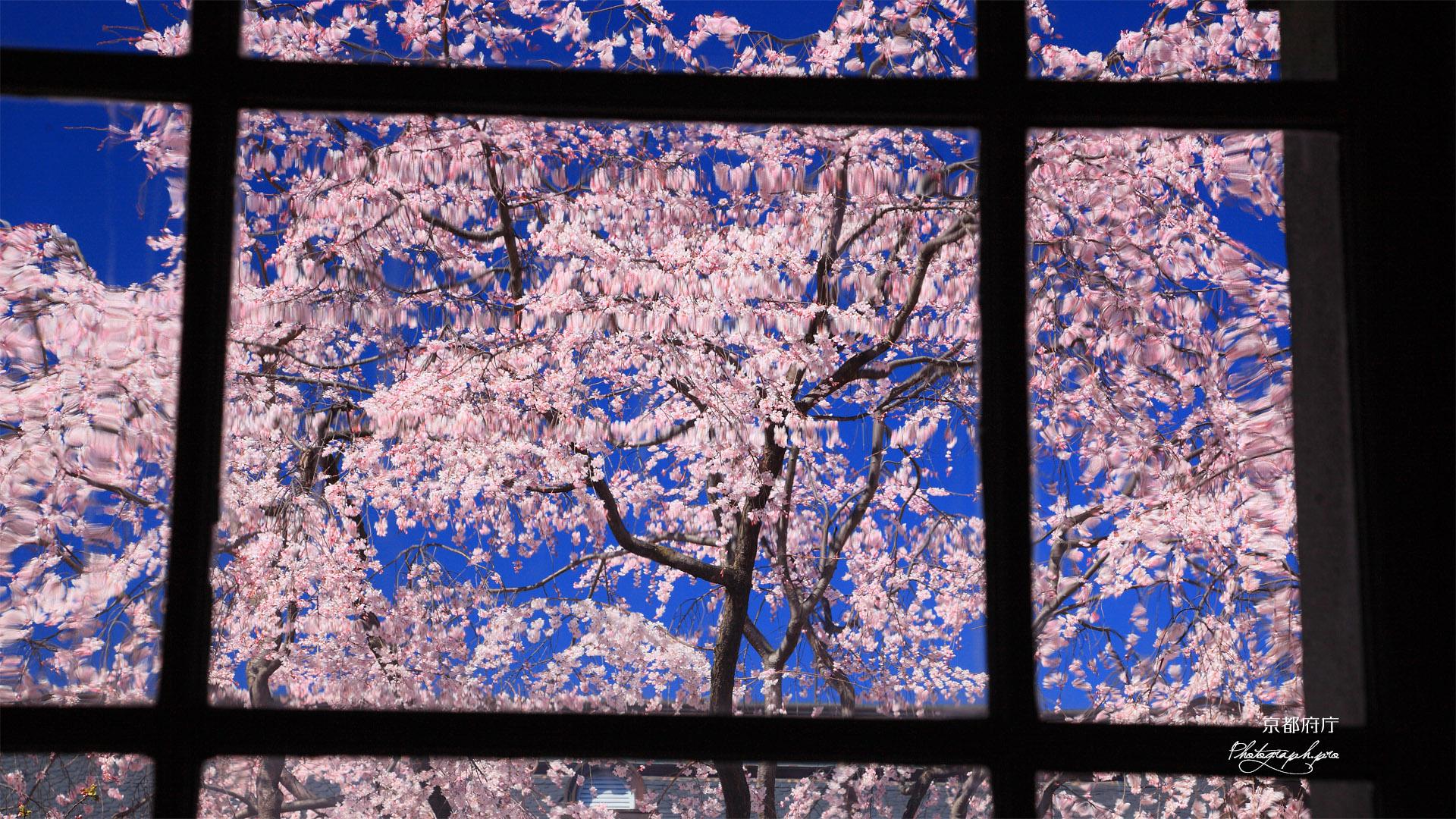 京都府庁旧本館 手延ガラス越しの枝垂桜