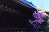 三十三間堂 桜と本堂