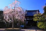 宇治浄土院 紅枝垂れ桜と羅漢堂