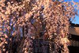 宇治県神社 木の花ざくら
