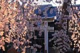 県神社 花簾越しの鳥居