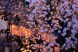 宇治県神社 宵のしだれ桜と拝殿
