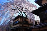 産寧坂明保野亭の枝垂桜