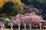 霊山観音 桜と燈籠