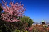 高台寺 陽光桜と祇園閣