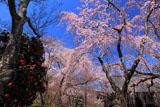 天龍寺の椿と枝垂桜