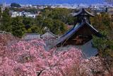 天龍寺の枝垂桜と庫裡