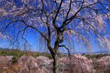 天龍寺 枝垂桜咲く望京の丘から
