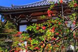 天龍寺曹源池庭園の山桜