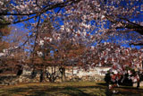 京都養源院 山桜の花
