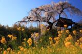 京都地蔵禅院 菜の花と枝垂れ桜