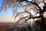 京都地蔵禅院 しだれ桜と井手の里