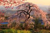 京都地蔵禅院 桃と枝垂桜