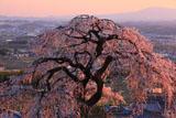 京都地蔵禅院 夕照のシダレザクラ