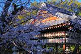 向日神社の桜と舞楽殿