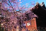 向日神社の枝垂桜と本殿