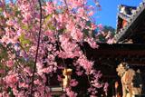 向日神社の枝垂桜と拝殿