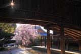 向日神社の枝垂桜と舞楽殿