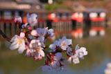 長岡天満宮の桜