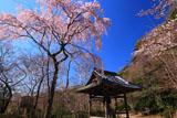 京都勝持寺 西行桜と鐘楼堂