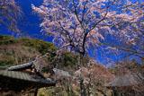 京都勝持寺 西行桜と堂宇