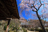 京都勝持寺 鐘楼と西行桜